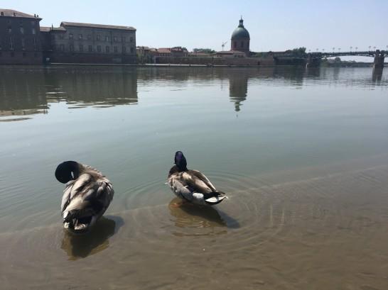 les canards se rafraîchissent dans la Garonne