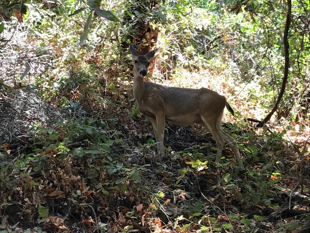 Deer facing camera
