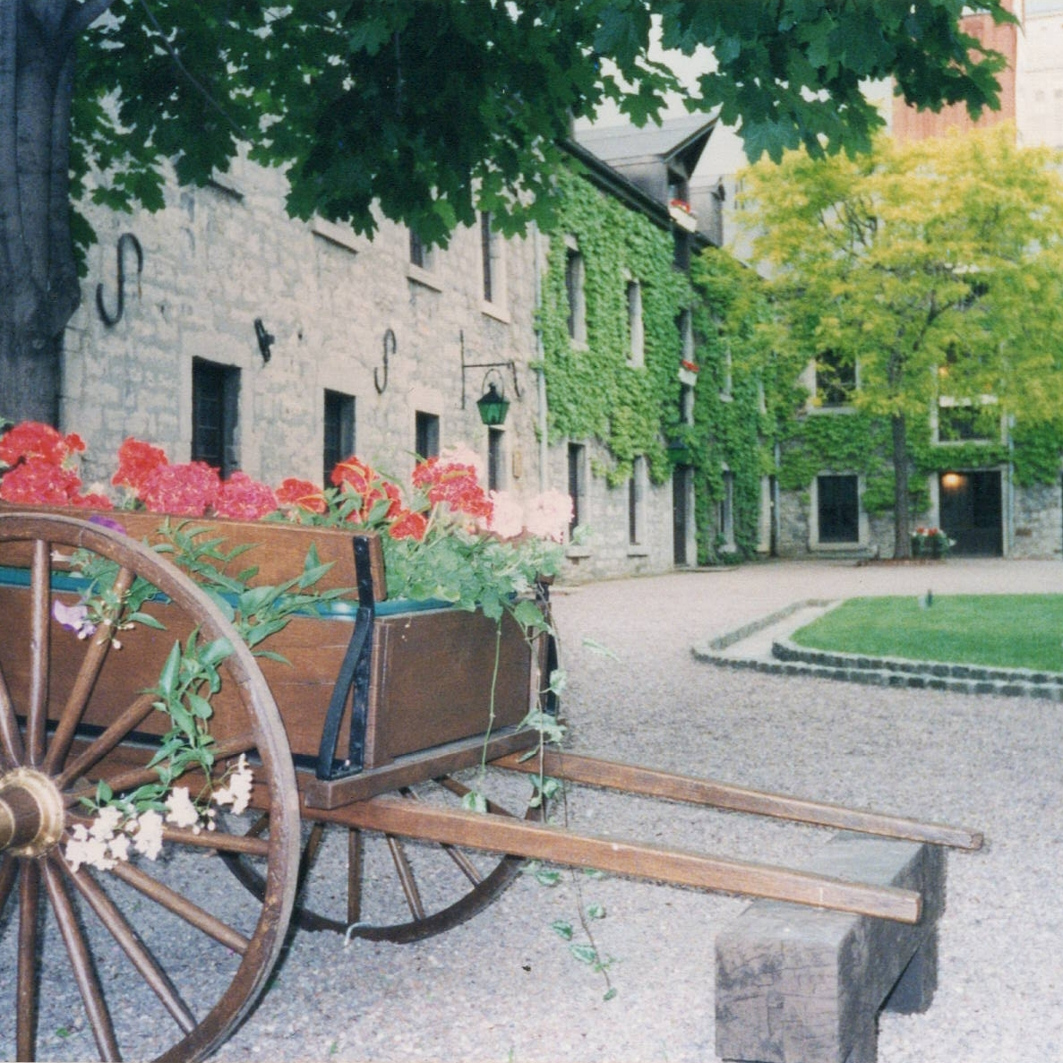 red flowers in wooden wagon in a courtyard with ivy on walls